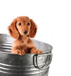 Wet puppy in a bucket